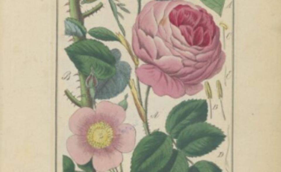 Winkler, Edward Flora lekarska, czyli opisanie cech rodzajowych i gatunkowych wszystkich roślin w medycynie używanych