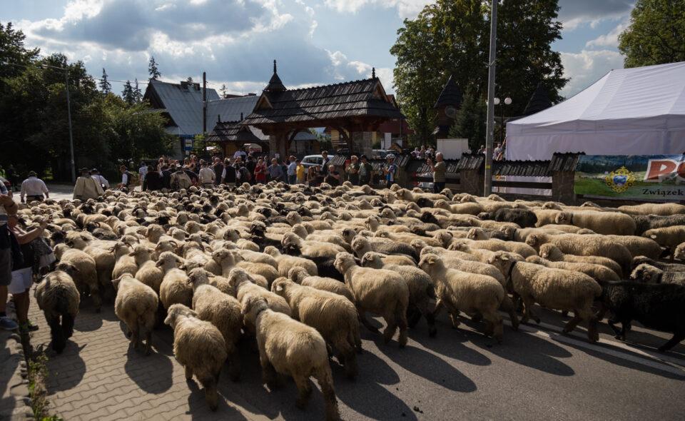 Polaniarski Osod – powrót pasterzy z wypasu owiec